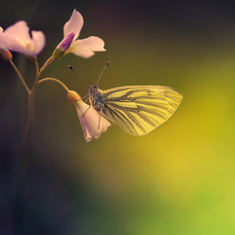 Butterfly Lightbringer Spring